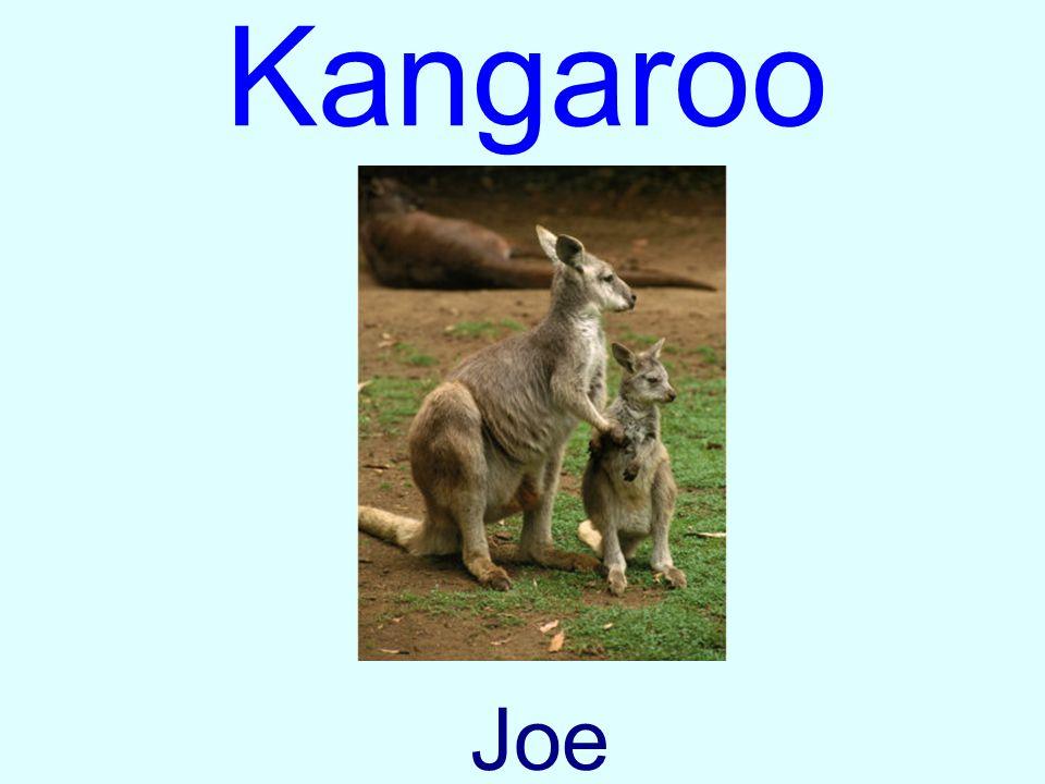 Kangaroo Joe