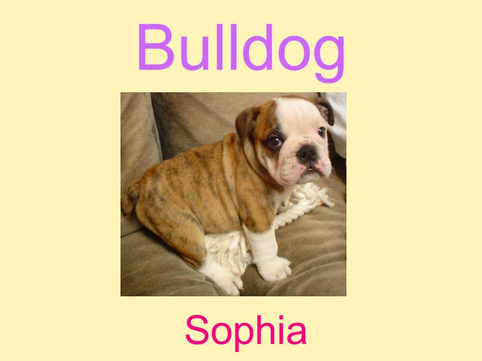 Bulldog Sophia