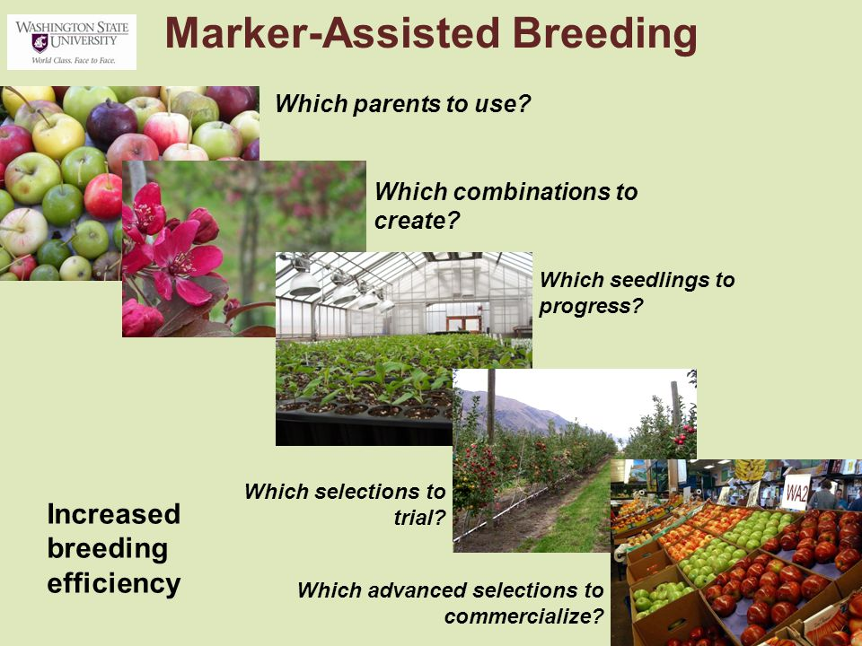 Marker-Assisted Breeding Which parents to use. Which combinations to create.
