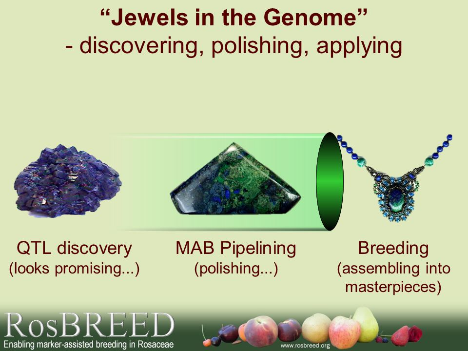 QTL discovery (looks promising...) MAB Pipelining (polishing...) Breeding (assembling into masterpieces) Jewels in the Genome - discovering, polishing, applying