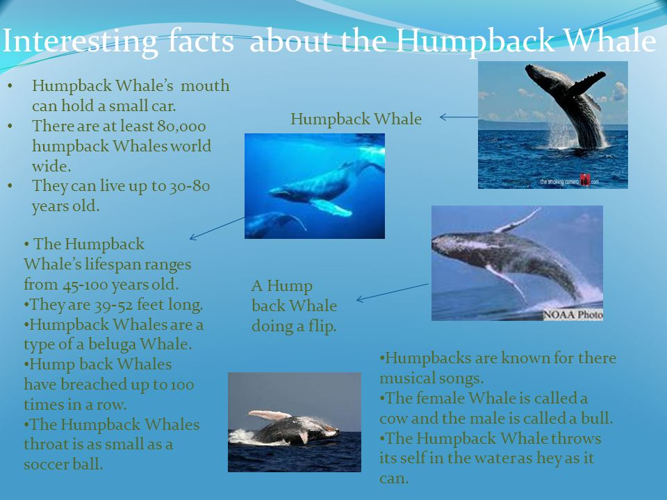 Humpback Whale's mouth can hold a small car.There are at least 80,ooo humpback Whales world wide.