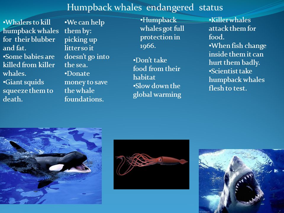 Humpback whales endangered status Whalers to kill humpback whales for their blubber and fat. Some babies are killed from killer whales. Giant squids s