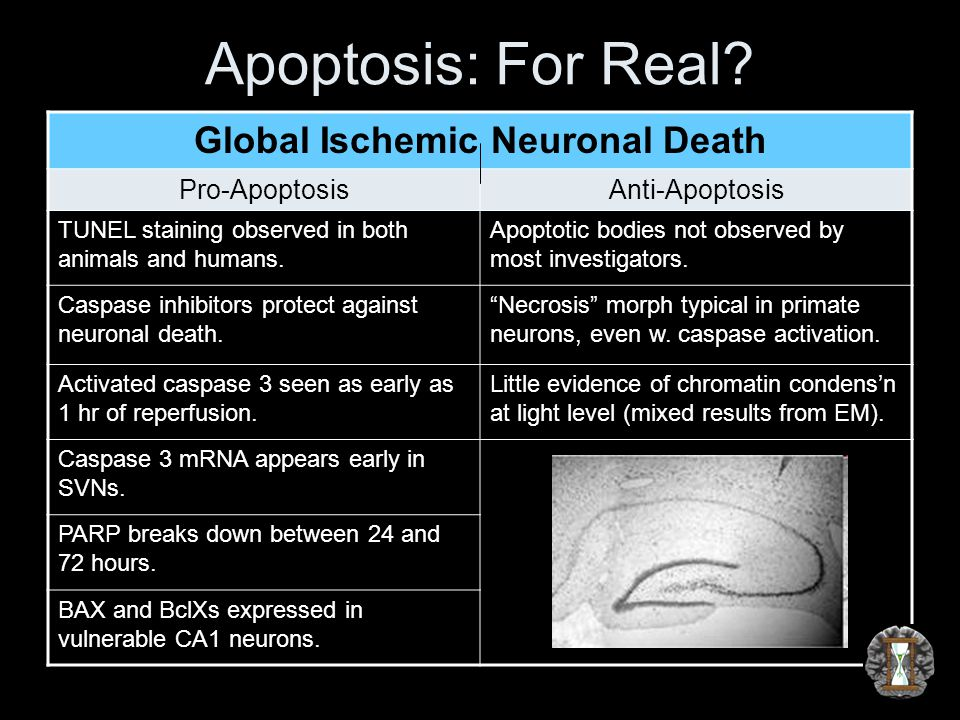 Apoptosis: For Real? Global Ischemic Neuronal Death Pro-ApoptosisAnti-Apoptosis TUNEL staining observed in both animals and humans. Apoptotic bodies n