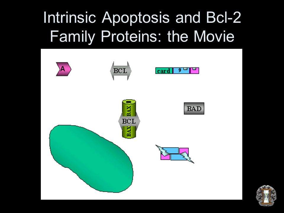 Intrinsic Apoptosis and Bcl-2 Family Proteins: the Movie