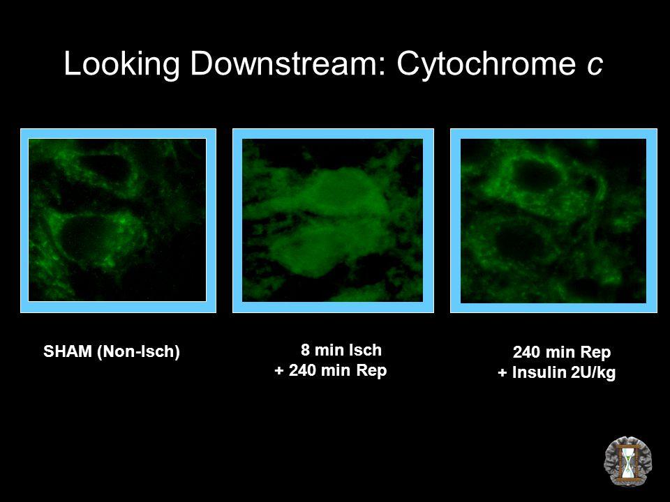 Looking Downstream: Cytochrome c SHAM (Non-Isch) 8 min Isch + 240 min Rep 240 min Rep + Insulin 2U/kg