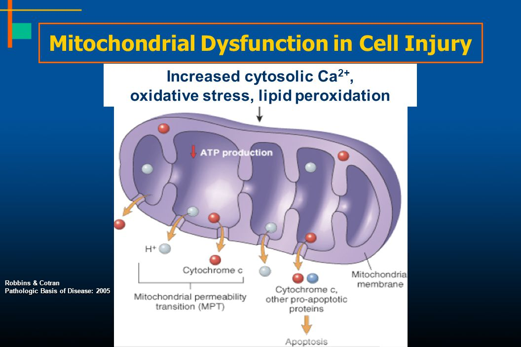 Mitochondrial Dysfunction in Cell Injury Increased cytosolic Ca 2+, oxidative stress, lipid peroxidation Robbins & Cotran Pathologic Basis of Disease: