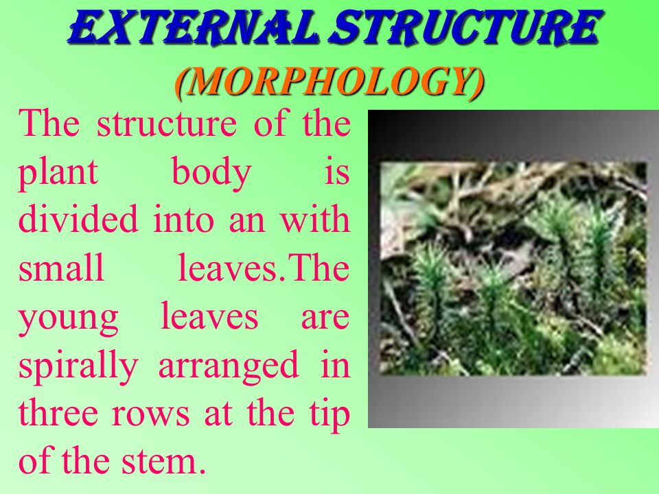 BRYOPHYTA The Bryophyta can be considered to be the precursors of the terrestrial plants.In this chapter you are going to study the example- polytrichum.
