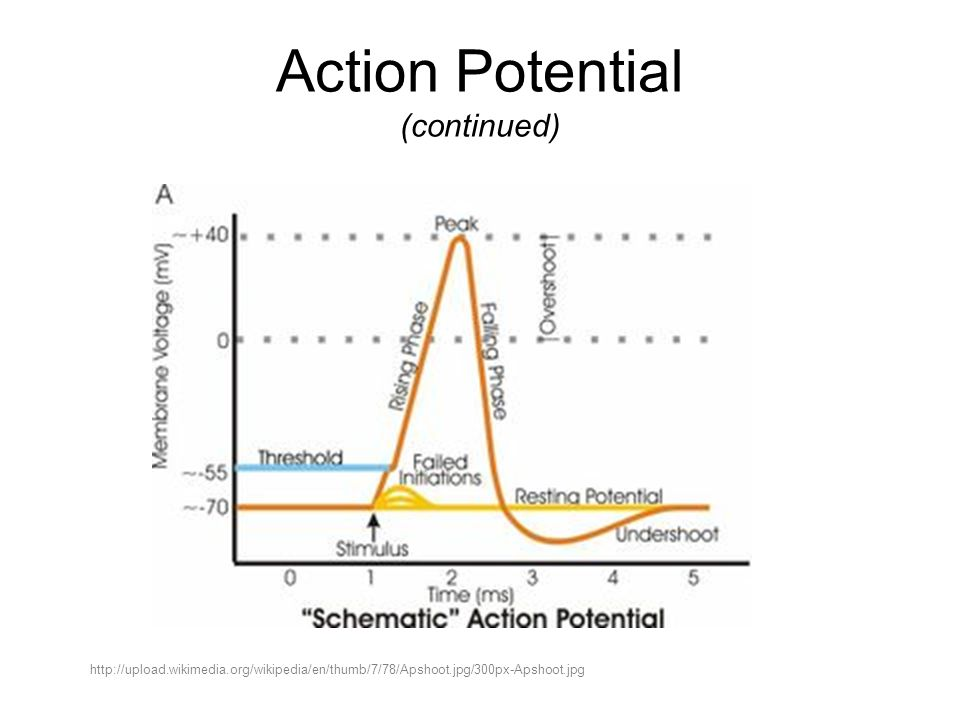 Action Potential (continued) http://upload.wikimedia.org/wikipedia/en/thumb/7/78/Apshoot.jpg/300px-Apshoot.jpg