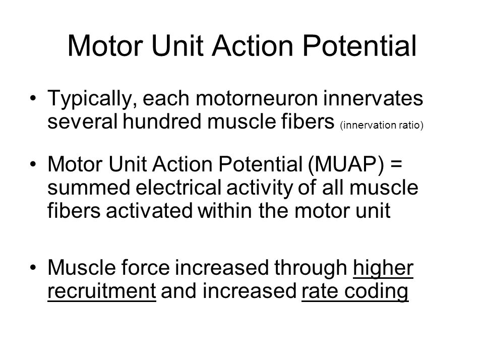 Motor Unit Action Potential Typically, each motorneuron innervates several hundred muscle fibers (innervation ratio) Motor Unit Action Potential (MUAP) = summed electrical activity of all muscle fibers activated within the motor unit Muscle force increased through higher recruitment and increased rate coding