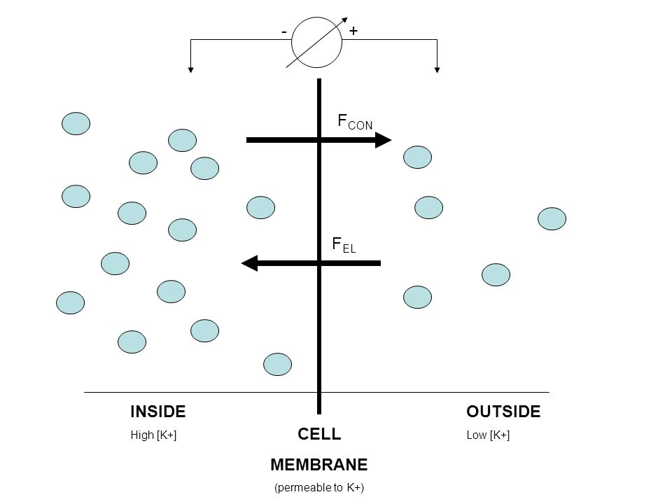 OUTSIDE Low [K+] INSIDE High [K+] CELL MEMBRANE (permeable to K+) -+ F CON F EL