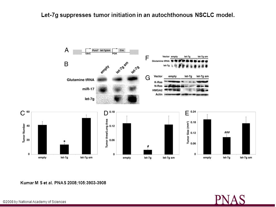 Let-7g suppresses tumor initiation in an autochthonous NSCLC model. Kumar M S et al. PNAS 2008;105:3903-3908 ©2008 by National Academy of Sciences