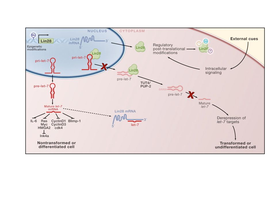 Let-7g-induced tumors maintain overexpression and target suppression.