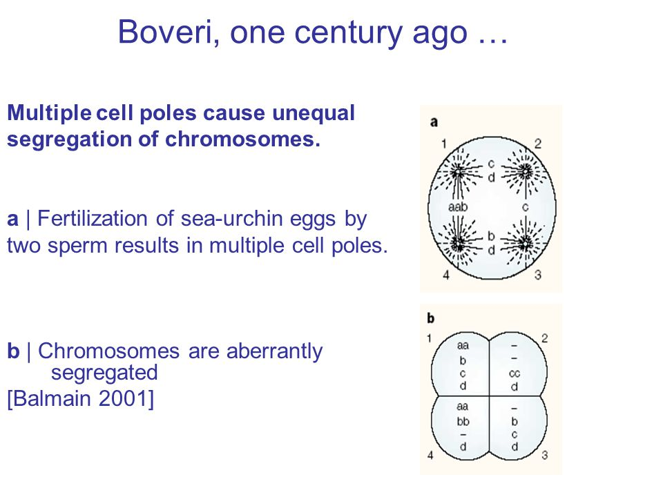 Boveri, one century ago … Multiple cell poles cause unequal segregation of chromosomes.