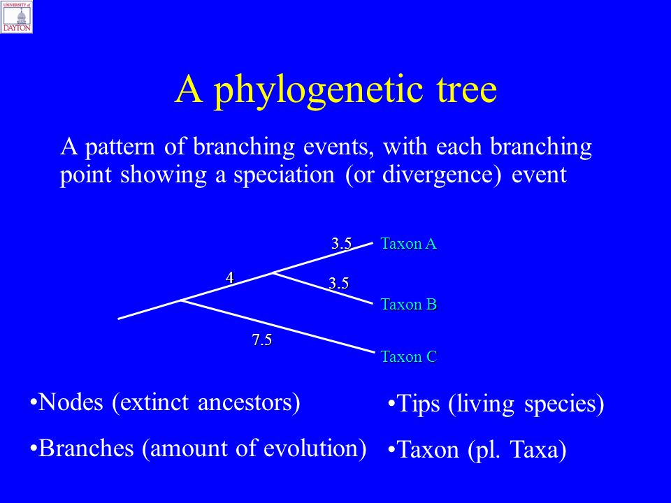 A phylogenetic tree A pattern of branching events, with each branching point showing a speciation (or divergence) event Taxon A Taxon B 3.5 3.5 7.5 4 Taxon C Nodes (extinct ancestors) Tips (living species) Branches (amount of evolution) Taxon (pl.