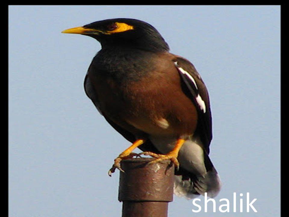 shalik