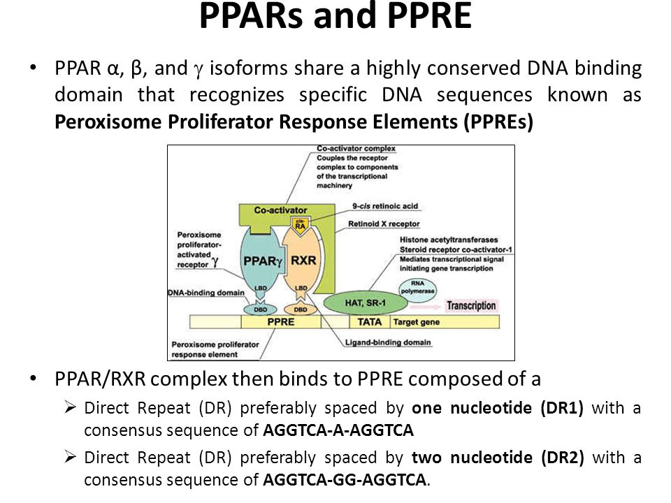 PPARs and PPRE PPAR α, β, and  isoforms share a highly conserved DNA binding domain that recognizes specific DNA sequences known as Peroxisome Proliferator Response Elements (PPREs) PPAR/RXR complex then binds to PPRE composed of a  Direct Repeat (DR) preferably spaced by one nucleotide (DR1) with a consensus sequence of AGGTCA-A-AGGTCA  Direct Repeat (DR) preferably spaced by two nucleotide (DR2) with a consensus sequence of AGGTCA-GG-AGGTCA.