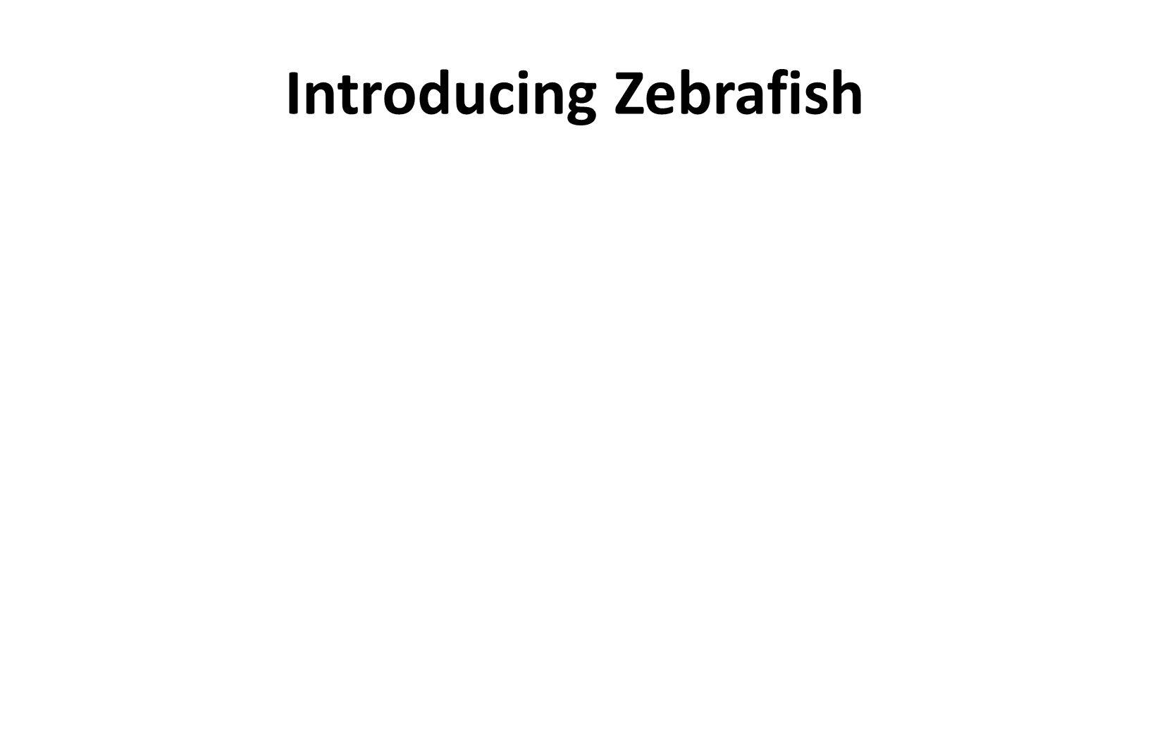 Introducing Zebrafish