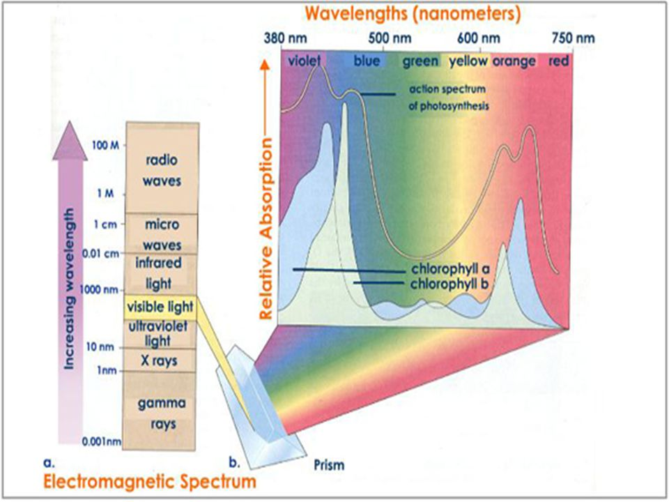 In which type of light is the rate of photosynthesis maximum.