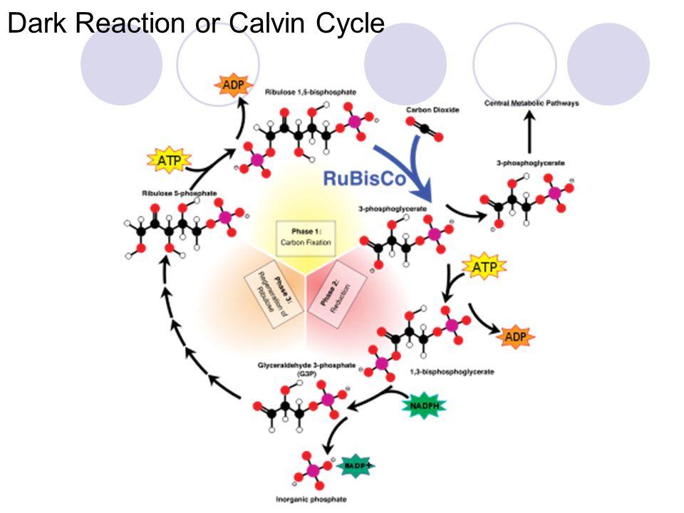 Q.Describe dark reaction . Dark reaction is light independent reaction of photosynthesis.