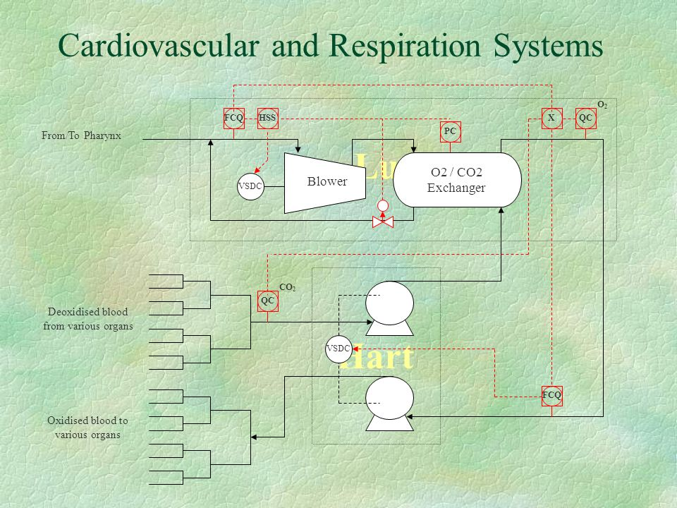 Cardiovascular and Respiration Systems Lungs Hart VSDC Deoxidised blood from various organs Oxidised blood to various organs QC CO 2 X O2O2 FCQ VSDC O2 / CO2 Exchanger From/To Pharynx Blower PC FCQHSS