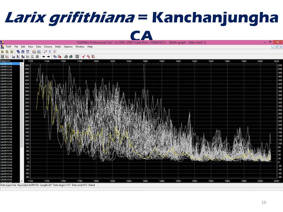 Larix grifithiana = Kanchanjungha CA 16