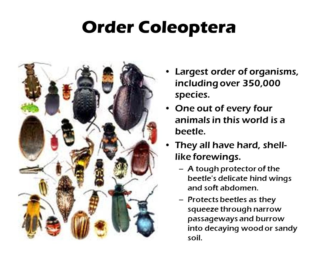 Order Coleoptera Largest order of organisms, including over 350,000 species.
