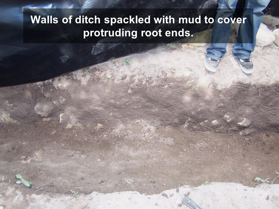 Walls of ditch spackled with mud to cover protruding root ends.