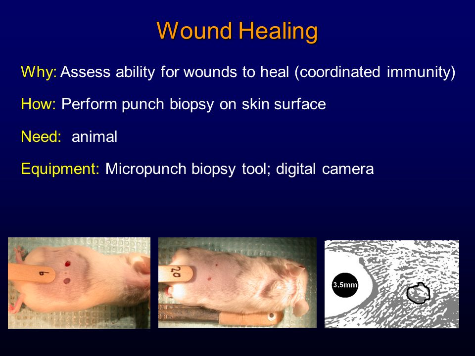 Wound Healing Why: Assess ability for wounds to heal (coordinated immunity) How: Perform punch biopsy on skin surface Need: animal Equipment: Micropun