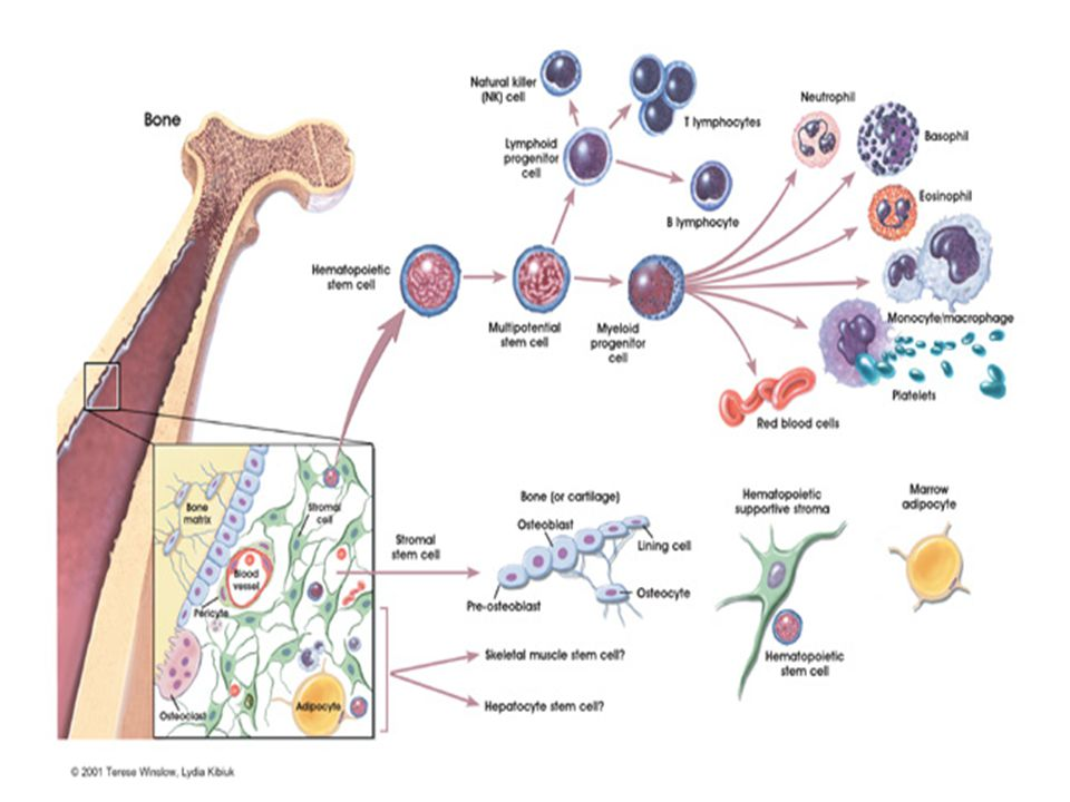 Clotting Factors Factor IFibrinogen Half life 3-5 days) Factor IIPro-thrombin Factor IIITissue Thromboplastin (TT) Factor IVCalcium Factor VLabile factor (proaccelerin) Factor VI not assigned Factor VIIStable factor (proconvertin) Factor VIIIAnti-hemophilic factor A (AHF) Factor IXChristmas Factor Factor XStuart - Prower Factor Factor XIPlasma Thromboplastin antecedent Factor XIIHageman factor Factor XIIIFibrin Stabilizing factor The higher up the cascade the clotting factor deficiency is the worse and more detrimental the coagulopathy can be
