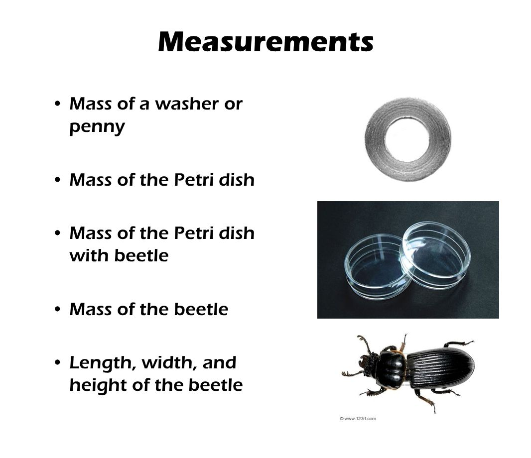 Measurements Mass of a washer or penny Mass of the Petri dish Mass of the Petri dish with beetle Mass of the beetle Length, width, and height of the b
