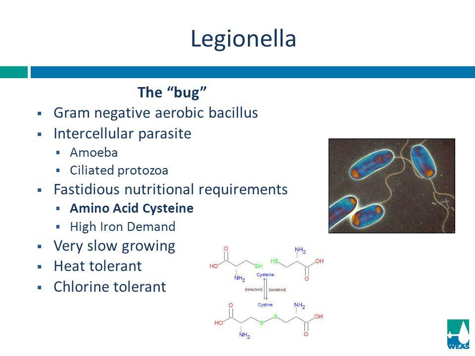"The ""bug""  Gram negative aerobic bacillus  Intercellular parasite  Amoeba  Ciliated protozoa  Fastidious nutritional requirements  Amino Acid Cy"