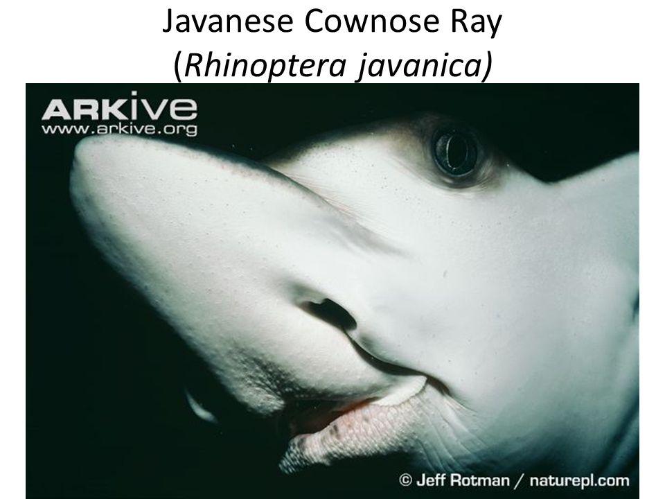Javanese Cownose Ray (Rhinoptera javanica)