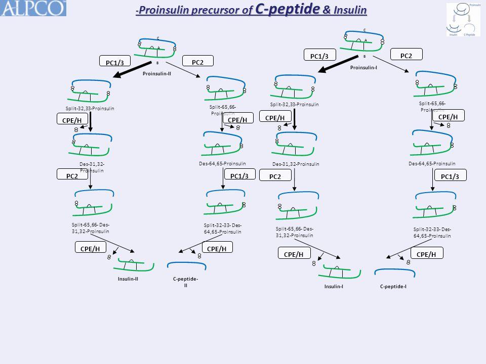 - Proinsulin precursor of C-peptide & Insulin Split-32-33- Des- 64,65-Proinsulin CPE/H Split-65,66- Des- 31,32-Proinsulin Des-64,65-Proinsulin PC1/3 PC2 Proinsulin-II C A B Split-65,66- Proinsulin CPE/H PC2 Des-31,32- Proinsulin Split-32,33-Proinsulin CPE/H Insulin-IIC-peptide- II Split-32-33- Des- 64,65-Proinsulin CPE/H Split-65,66- Des- 31,32-Proinsulin Des-64,65-Proinsulin PC1/3 PC2 Proinsulin-I C A B Split-65,66- Proinsulin CPE/H PC2 Des-31,32-Proinsulin Split-32,33-Proinsulin CPE/H Insulin-IC-peptide-I