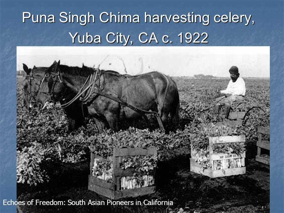 Puna Singh Chima harvesting celery, Yuba City, CA c.