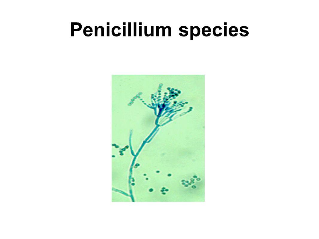 Penicillium species