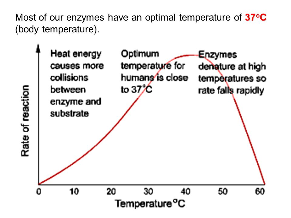 37 o C Most of our enzymes have an optimal temperature of 37 o C (body temperature).