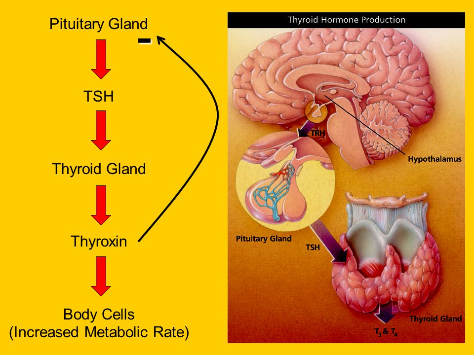 Pituitary Gland TSH Thyroid Gland Thyroxin Body Cells (Increased Metabolic Rate) -