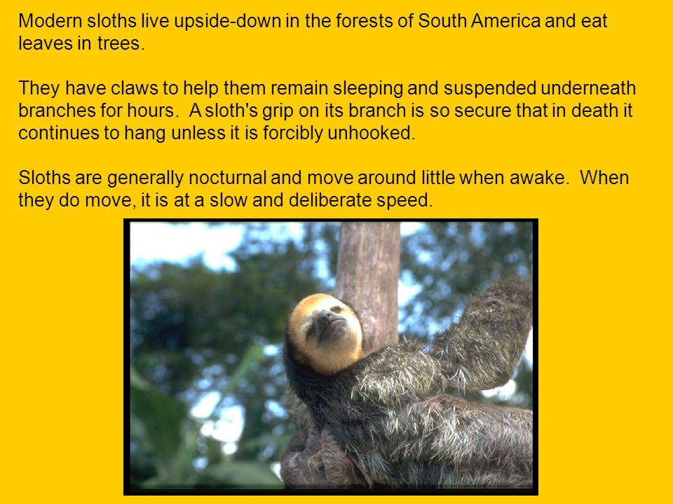 Modern sloths live upside-down in the forests of South America and eat leaves in trees. They have claws to help them remain sleeping and suspended und