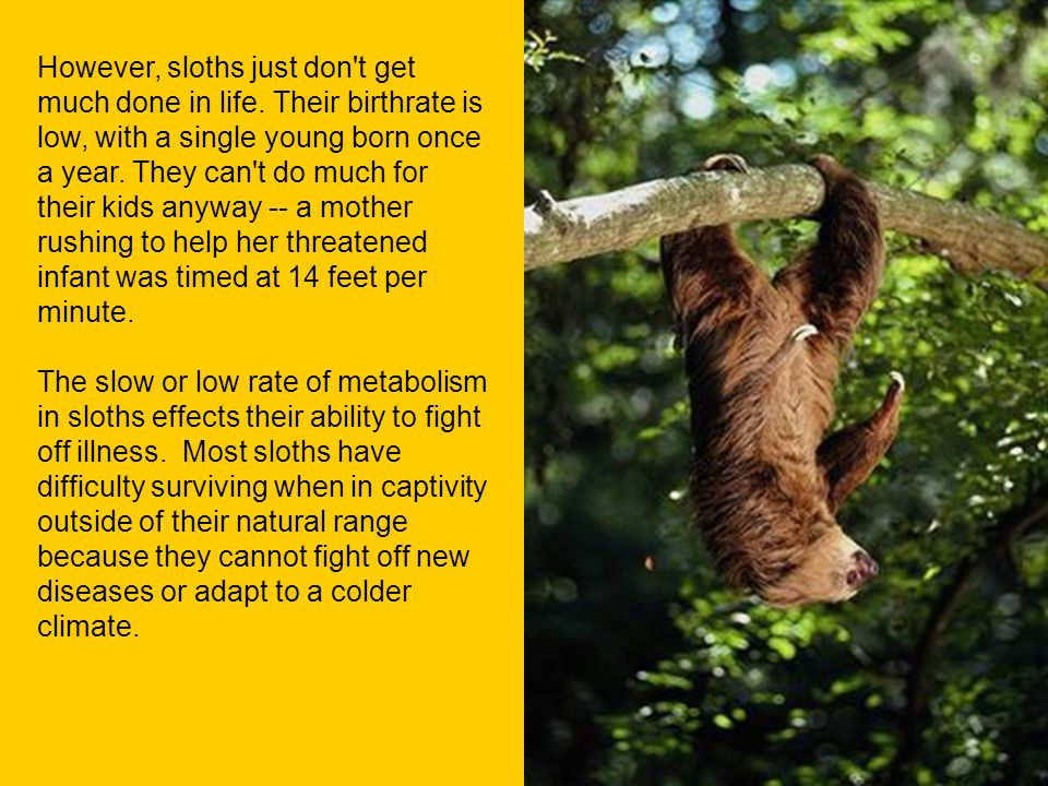 However, sloths just don't get much done in life. Their birthrate is low, with a single young born once a year. They can't do much for their kids anyw