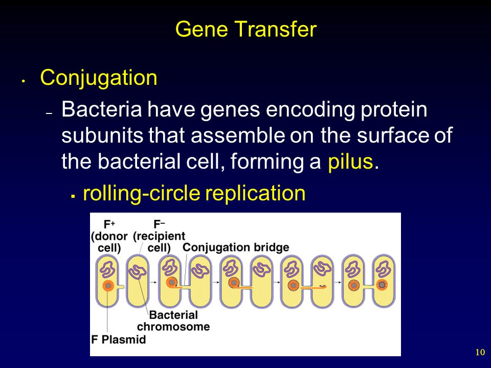 10 Gene Transfer Conjugation – Bacteria have genes encoding protein subunits that assemble on the surface of the bacterial cell, forming a pilus.