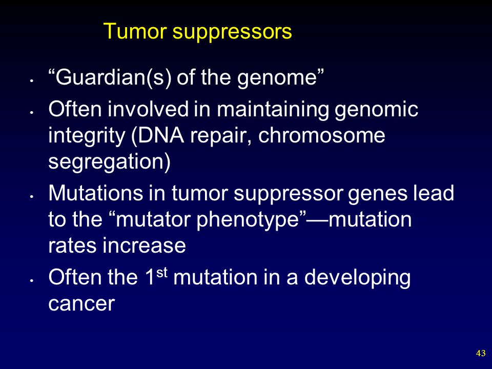 43 Tumor suppressors Guardian(s) of the genome Often involved in maintaining genomic integrity (DNA repair, chromosome segregation)‏ Mutations in tumor suppressor genes lead to the mutator phenotype —mutation rates increase Often the 1 st mutation in a developing cancer