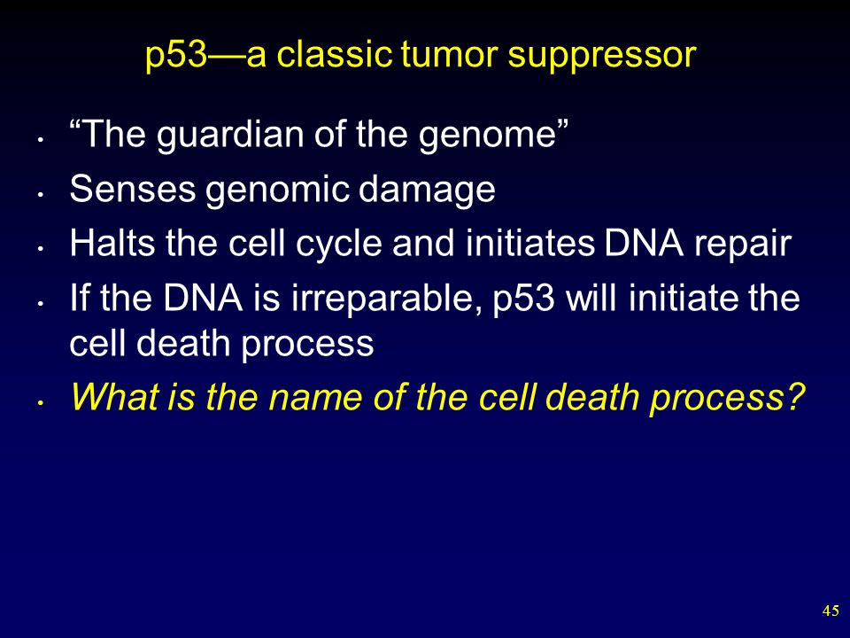 45 p53—a classic tumor suppressor The guardian of the genome Senses genomic damage Halts the cell cycle and initiates DNA repair If the DNA is irreparable, p53 will initiate the cell death process What is the name of the cell death process