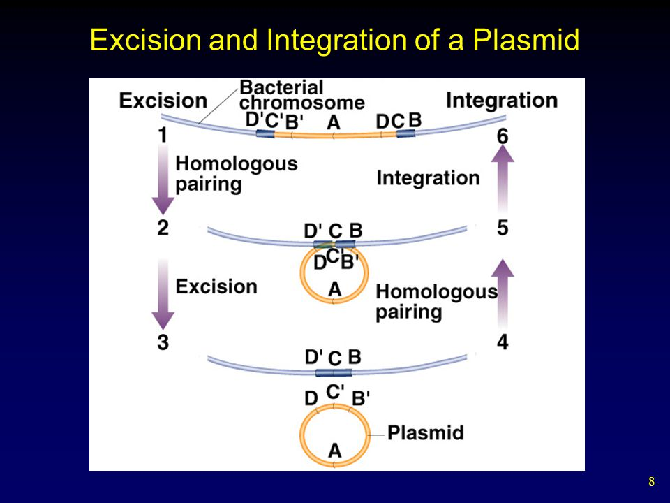 8 Excision and Integration of a Plasmid