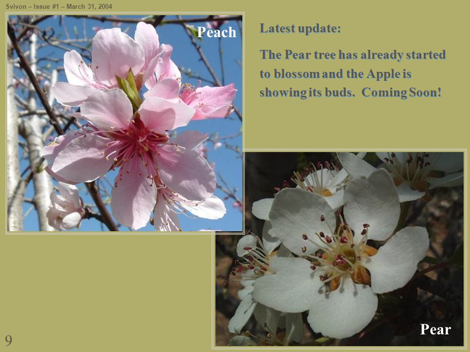 9 Pear Latest update: The Pear tree has already started to blossom and the Apple is showing its buds.