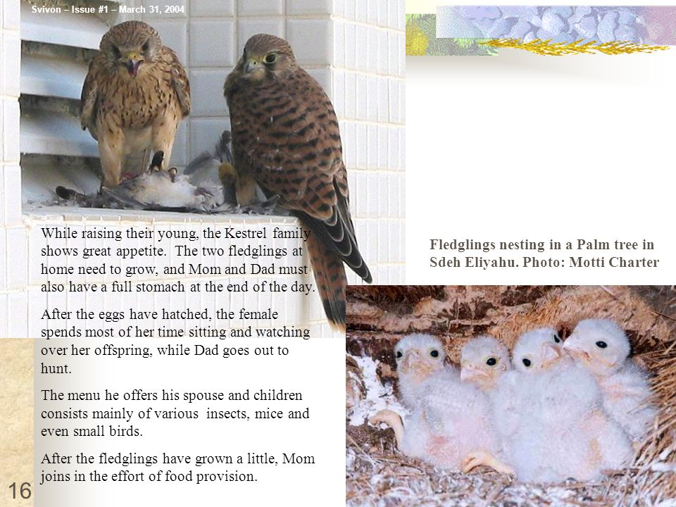 While raising their young, the Kestrel family shows great appetite.