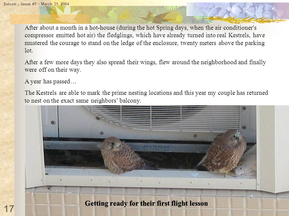 After about a month in a hot-house (during the hot Spring days, when the air conditioner's compressor emitted hot air) the fledglings, which have alre