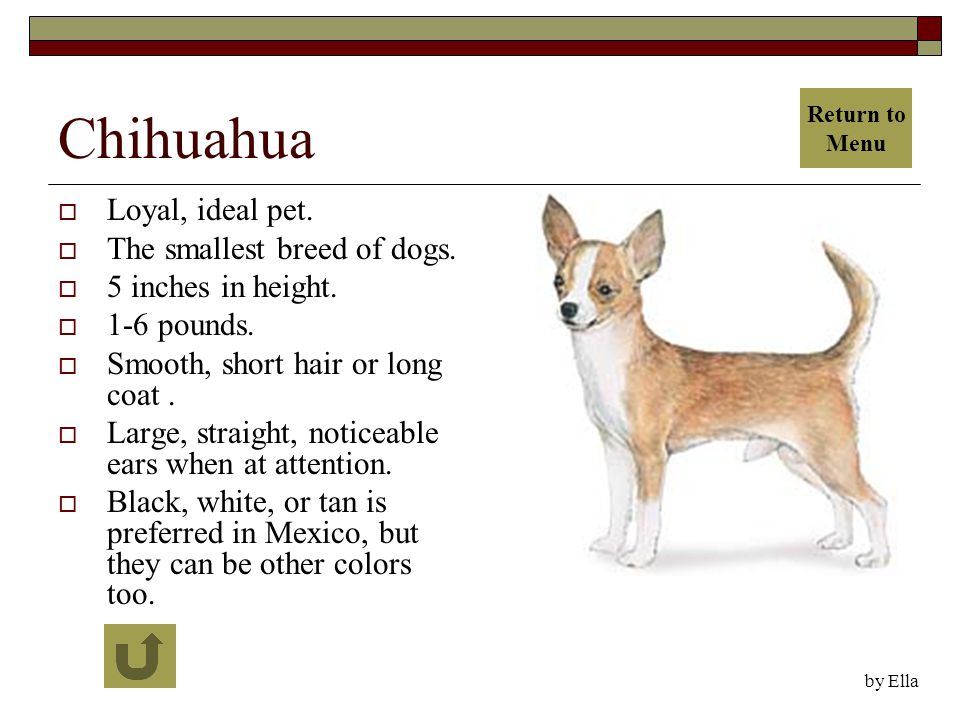 Chihuahua  Loyal, ideal pet.  The smallest breed of dogs.