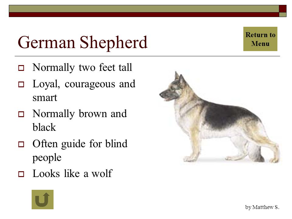 German Shepherd  Normally two feet tall  Loyal, courageous and smart  Normally brown and black  Often guide for blind people  Looks like a wolf by Matthew S.