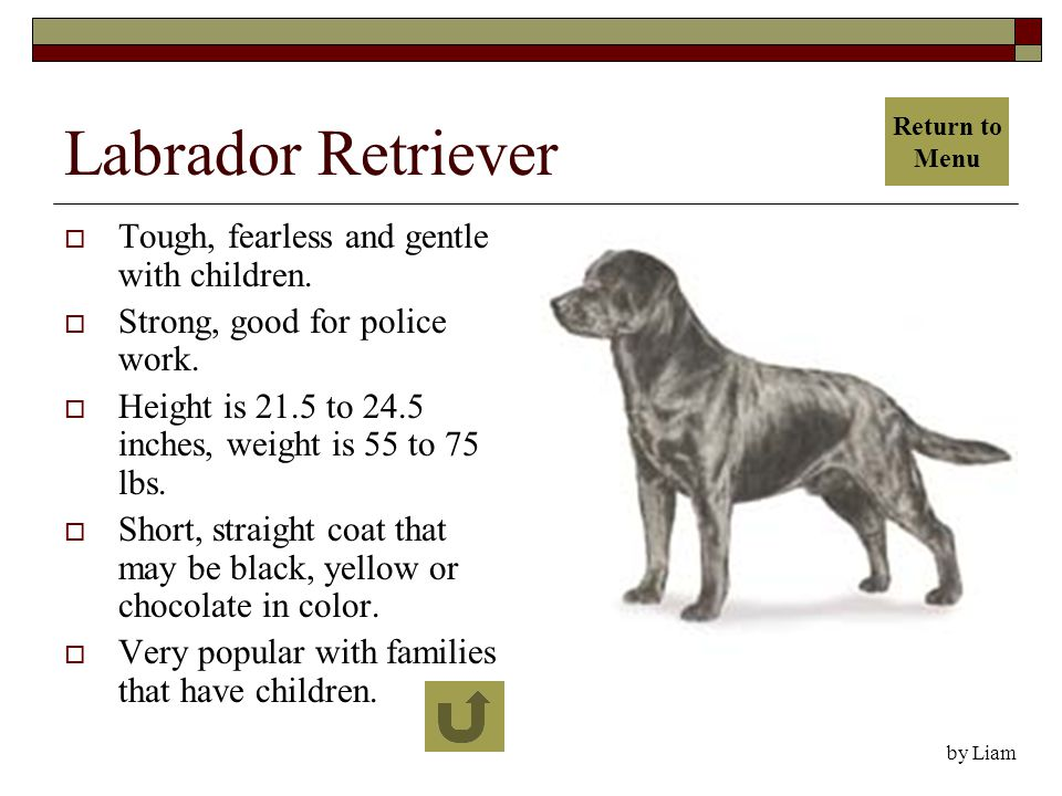 Labrador Retriever  Tough, fearless and gentle with children.