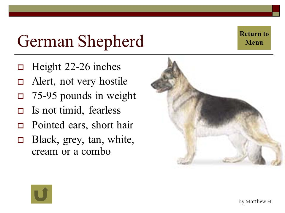 German Shepherd  Height 22-26 inches  Alert, not very hostile  75-95 pounds in weight  Is not timid, fearless  Pointed ears, short hair  Black, grey, tan, white, cream or a combo by Matthew H.